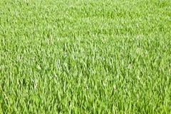 Fundos do campo de grama verde - espaço da cópia do whit da imagem Fotografia de Stock Royalty Free