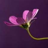 Fundos do cosmos do jardim para termas Imagens de Stock Royalty Free