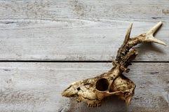 Fundos do crânio das ovas Foto de Stock