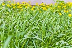 Fundos dos dentes-de-leão da textura e do yelow da grama verde Foto de Stock