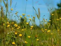 Fundos naturais abstratos para seu projeto Botões de ouro amarelos do prado Foto de Stock