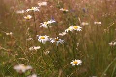 Fundos naturais abstratos para seu projeto Camomila do prado Fotografia de Stock