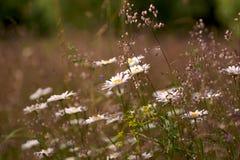 Fundos naturais abstratos para seu projeto Camomila do prado Foto de Stock Royalty Free