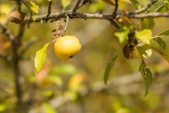 Fundos outonais com maçã amarela fotos de stock