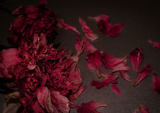 Funeral flowers. Two withered peony. Dark floral composition. Horizontal photo royalty free stock image