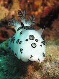 Funeral pyre nudibranch Stock Images