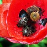 Funesta di Oxythyrea e squalida di Tropinota in un papavero rosso immagini stock libere da diritti
