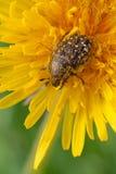 Funesta Oxythyrea Стоковые Фотографии RF