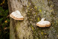 Fungal conk growing on tree. With blurred background royalty free stock photo