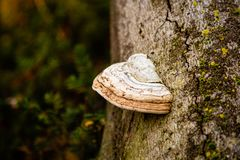Fungal conk growing on tree. With blurred background stock photos