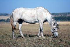 Fungerande häst Fotografering för Bildbyråer