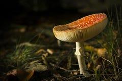 Funghi在森林里 库存图片