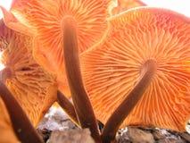 Funghi 2 Fotografia Stock Libera da Diritti