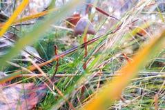 Funghi allucinogeni in erba al campo fotografie stock