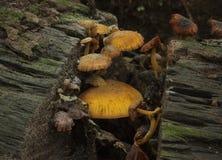 Funghi arancio Immagini Stock Libere da Diritti
