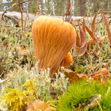 Funghi arancio commestibili di corallo del club troncato Immagine Stock