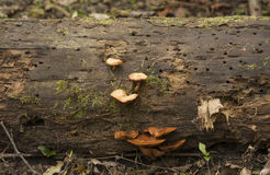 Funghi arancio su un ceppo Fotografie Stock
