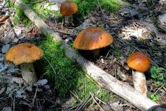 Funghi arancioni del boletus della protezione immagine stock libera da diritti