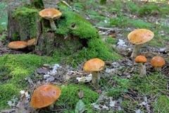 Funghi arancioni del boletus della protezione fotografie stock libere da diritti