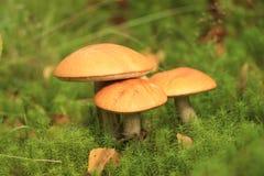 Funghi in autunno Immagini Stock Libere da Diritti