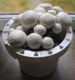Funghi bianchi crescenti a casa Fotografie Stock Libere da Diritti