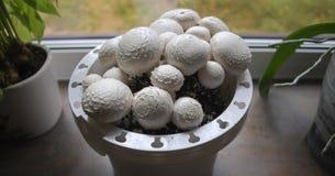 Funghi bianchi crescenti a casa Fotografie Stock