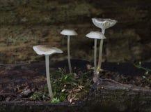 4 funghi bianchi delicati Immagini Stock Libere da Diritti