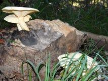 Funghi bianchi di Polypore che crescono su un ceppo Fotografie Stock
