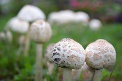 Funghi bianchi nel campo Fotografie Stock Libere da Diritti