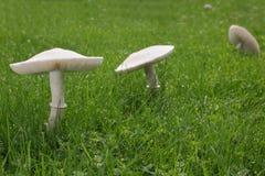Funghi bianchi su prato inglese immagini stock libere da diritti