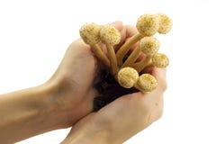Funghi che crescono in mani Fotografie Stock Libere da Diritti