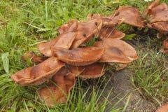 Funghi che crescono su un vecchio ceppo di albero Funghi dopo pioggia Armillaria dei funghi l'erba verde Immagini Stock Libere da Diritti