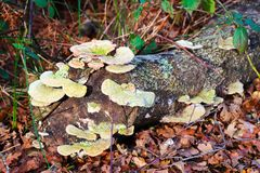 Funghi che crescono sul ceppo caduto immagini stock libere da diritti
