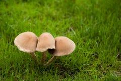 Funghi che crescono sul prato inglese Immagine Stock Libera da Diritti