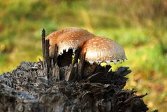 Funghi che crescono sulla canapa Fotografie Stock Libere da Diritti
