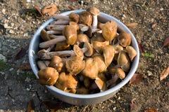 Funghi commestibili Immagini Stock