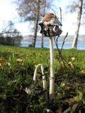 Funghi commestibili - comatus di coprinus Fotografia Stock