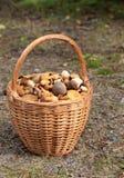 Funghi commestibili del canestro Fotografia Stock