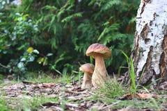 Funghi commestibili di autunno Immagine Stock