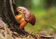 Funghi commestibili marroni del boletus nella foresta Fotografia Stock