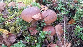 Funghi commestibili nel muschio in una foresta di autunno Immagini Stock Libere da Diritti