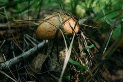 Funghi commestibili nella foresta fotografia stock libera da diritti