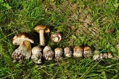 Funghi commestibili sull'erba Fotografie Stock