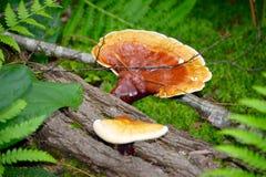 Funghi crescenti selvaggi sul ceppo caduto Immagine Stock