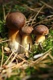 Funghi del Bolete Fotografie Stock