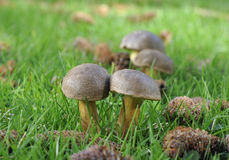 Funghi del Bolete di Matt Fotografia Stock Libera da Diritti