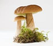 Funghi del boletus Fotografia Stock Libera da Diritti