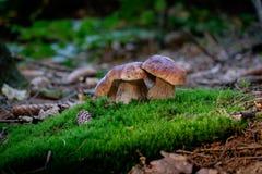 Funghi del boletus su muschio nella foresta immagine stock