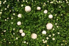 Funghi del cerchio delle fate in un prato Immagini Stock Libere da Diritti