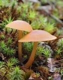 Funghi del Deceiver Fotografia Stock